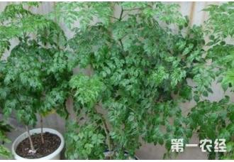 种植幸福树出现叶片发黑是怎么回事