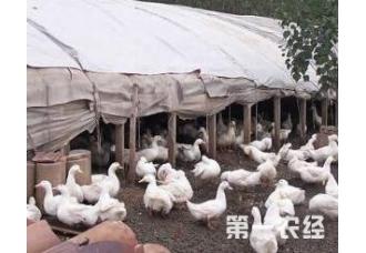 养殖蛋鸭到青年要注意哪一些
