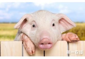 仔猪断奶都有哪些注意事项,你都知道吗
