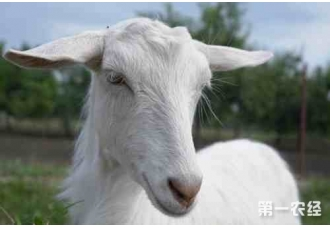 夏季养羊从这四个方面给它们降温,你都知道吗