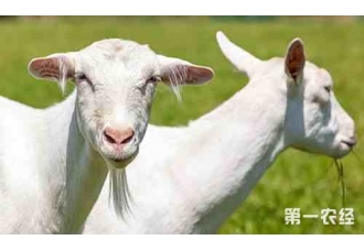 公羊和母养混养的弊端,都有哪些呢