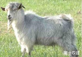 山羊应该如何去饲养呢,几种办法教你