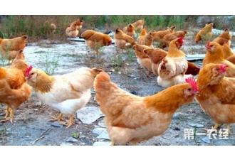 要冲鸡舍了,冲洗过程应遵循的原则和流程解读