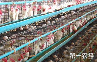 这是一张夏季鸡群的饲养管理要点的配图