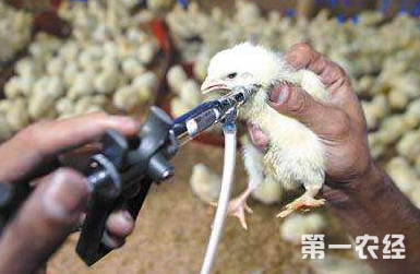 这是一张雏鸡常用疫苗和使用要求的配图