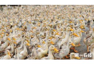 肉鸭密集旱养新技术,你知道几种呢