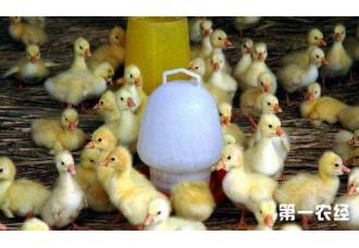雏鹅1周龄的饲养管理的办法都有什么呢