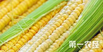 种植玉米出苗