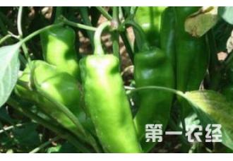 这一些辣椒预防病害技巧要知道