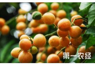 种植黄皮果发生黄叶现象要怎么解决