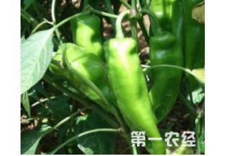 种植辣椒出现早衰要如何去预防