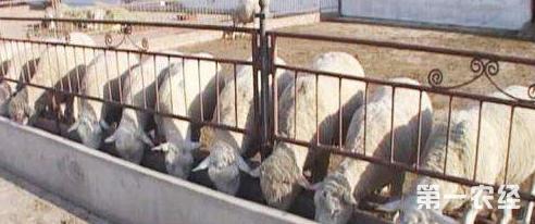 这是一张羔羊开食育肥技术的配图