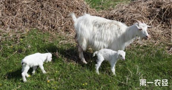 这是一张提高母羊产羔数四措施的配图