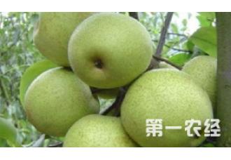梨树出现腐烂病要怎么去预防