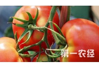 番茄出现空心要怎么去预防