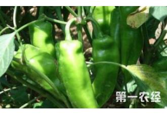 辣椒一些常见的病害要如何预防