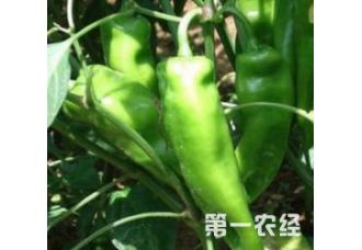 种植辣椒出现空心要怎么去解决