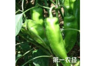 种植辣椒发生病害要如何预防