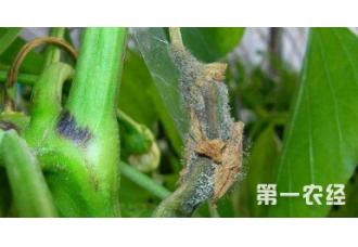种植辣椒出现病害要怎么去预防