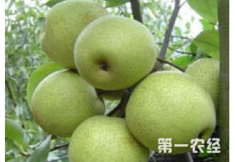 种植梨树出现腐烂病要怎么去预防