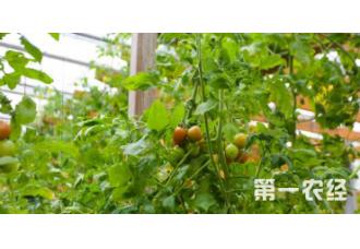 种植番茄出现畸形花要怎么去预防 有什么要点
