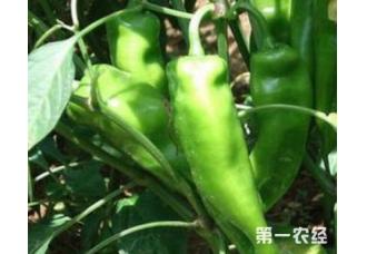 辣椒常见病害要怎么去预防