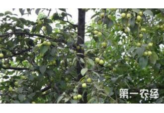 种植梨树出现腐烂要怎么预防 有什么技巧