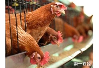 0~6周龄雏鸡饲养管理方案,这个你知道吗