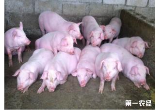 对仔猪健康有益的五种添加剂,对你有所帮助
