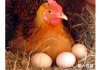怎样使蛋鸡冬、春季不停产你知道,啊