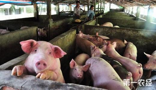 这是一张给猪免疫接种需注意的配图