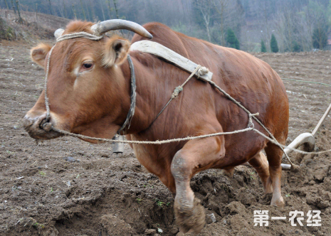 这是一张耕牛安全度夏