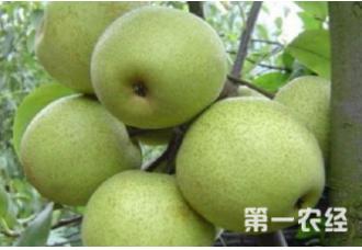 种植梨树出现腐烂病要如何解决