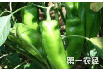种植辣椒出现空心要怎么预防 有什么要点