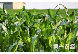 玉米早衰要怎么去预防