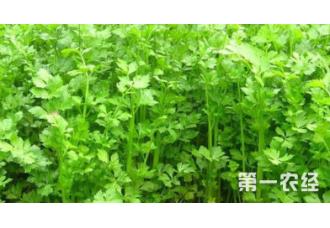 种植芹菜发生菌核病要怎么去预防
