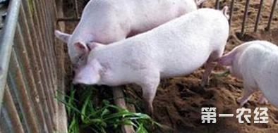 这是一张选择那种畜牧草喂猪好的配图