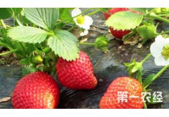 该怎么去种植好草莓