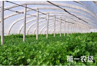 要怎么去种植好香菜 有什么要点