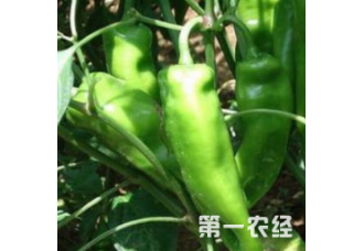辣椒要怎么去种植 有哪些技巧