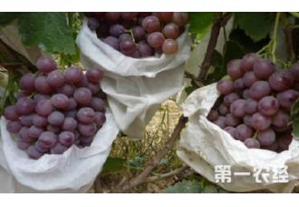 种植葡萄套袋出现烂果要怎么去预防