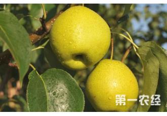 该如何去种植香梨 要做好哪一些