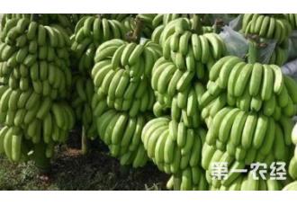 在冬季香蕉要怎么去种植管理