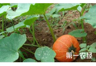 该怎么去种植高产南瓜 有哪些要点