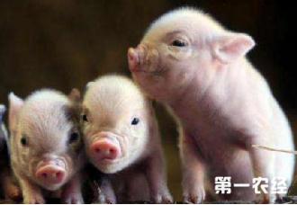 怎样治疗吃奶仔猪的黄痢病?你知道吗