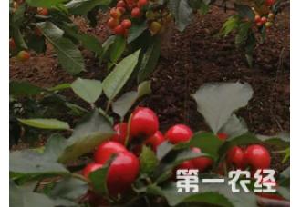 种植樱桃死尖是怎么回事