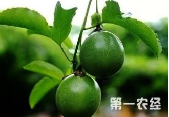 高产百香果的种植技巧 这些要知道