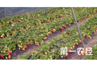 种植草莓要如何去管理