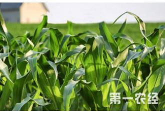 种植玉米出现早衰预防要点