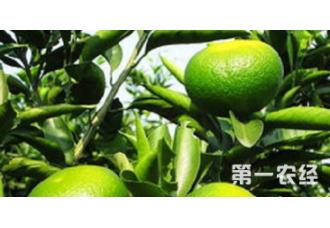 该怎么去种植柑橘 有哪些技巧